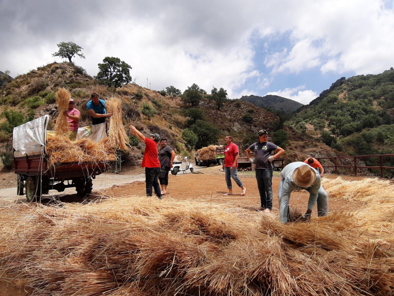 A Bova, in Calabria, i giovani fanno rivivere la mietitura della tradizione (reportage)