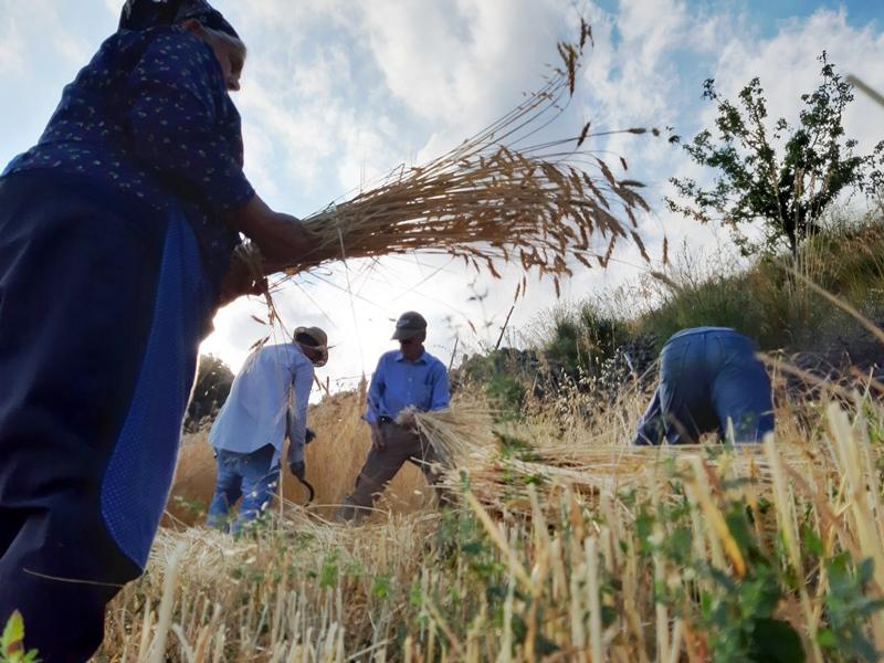 mietitura grano antico donne