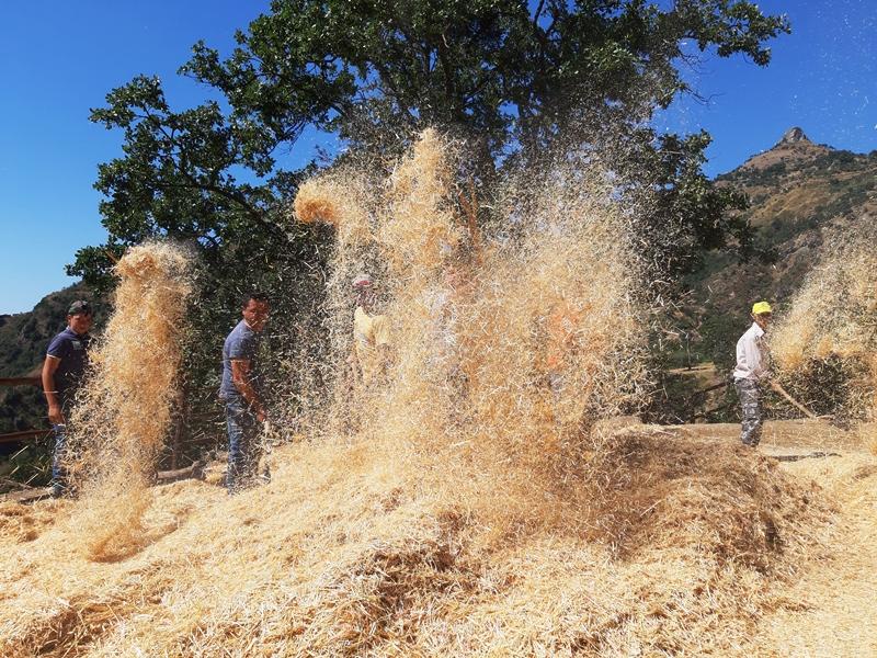 La Boria nella mietitura calabrese