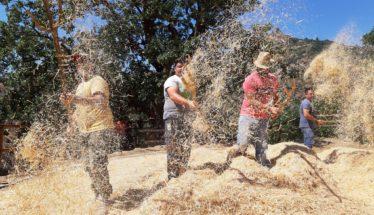 il grano vola nell'aia in Calabria