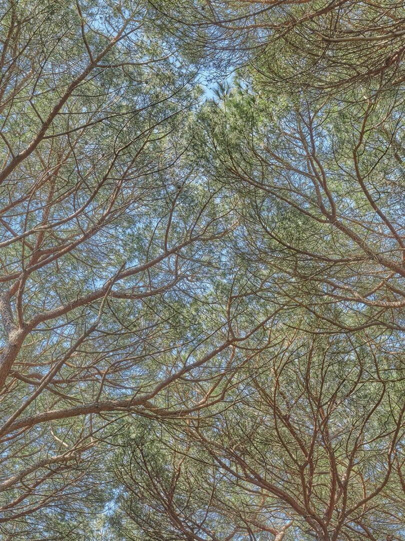 Tappeti volanti (3). Alla ricerca dei pini perduti