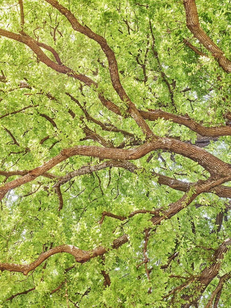 Tappeto Volante #14 Quercus pubescens