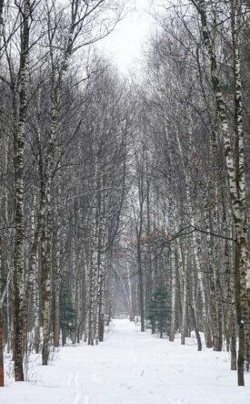 Losinij Ostrov - maestose betulle segnano il percorso